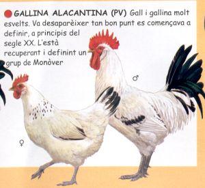 Gallina monovera