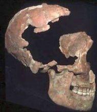 Crani de neandertal